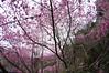 DSC03991 (青色琉璃) Tags: 櫻花 新竹 宇老 粉紅 花 漂亮 白 純白 林 花林 花園