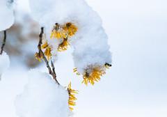 Witch Hazel Peek-a-Boo (Scrambler27) Tags: scrambler27 mundypark coquitlam winter snow trees flowers witchhazel macro bokeh blue white