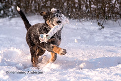 fun in snow (Flemming Andersen) Tags: winther pet dog bordercollie outdoor hund fun snow frisbee jelling regionofsoutherndenmark denmark dk