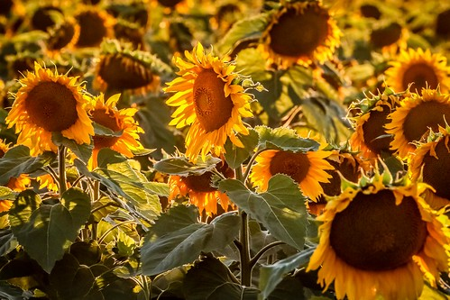 Sunflowers Sunset-15
