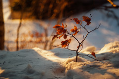 so comes snow after fire(works) II (culuthilwen) Tags: sonyalpha230 helios44m6 helios44m vintagelens 58mm f2 m42 bokeh winter snow leaves foliage dof light orange white nature sonysti forest goldenhour