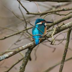 P3049538 (neptunus1960) Tags: alcedo atthis kingfisher
