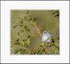 White-throated Sparrow (Summerside90) Tags: birds birdwatcher sparrows whitethroatedsparrow march winter backyard garden nature wildlife ontario canada