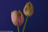 "On our diningtable, ""Tulipe Française"" (A.J. Boonstra) Tags: tulp tulip tulipefrançaise ef100mmf28lmacroisusm canon70d canoneos canon falconeyesskk2150d falconeyesdiffusionumbrella jinbeidiffusionjumboumbrella jinbei falconeyes fransetulp closeup eefde flowers"