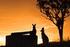 Two Roos (david.john.lee) Tags: sunset australia canberra kangaroo
