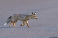 Safe to cross (leendert3) Tags: leonmolenaar southafrica krugernationalpark wildlife nature sidestripedjackal mammals ngc npc