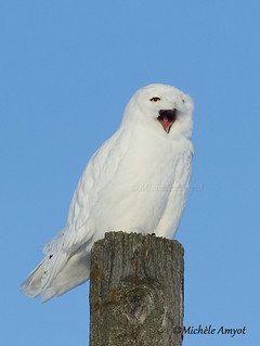 Harfang des neiges / Snowy owl - Male adult