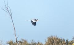 Vol (hubertguyon) Tags: sénégal senegal afrique africa sahel ouest west langue de barbarie oiseau bird