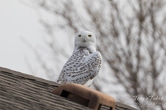 Snowy Owl looking around