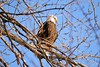 Bald Eagle (Kirby Wright) Tags: bald eagle eagles birds raptor raptors white brown wisconsin river prairie du sac dam sauk county frozen ducks tree perched flying fish fishing feeding feathers wings prey beak winter cold january snow fresh action wild life wildlife nature outdoors nikon d700 tamron 150 600 mm 150600 talons claws