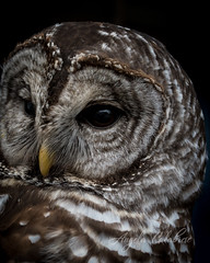 Morgan the Sparred Owl (C-Brese) Tags: sparredowl barred owl spotted cbrese bird