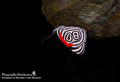Diaethria clymena meridionalis (H. Bates, 1864) (Marquinhos Aventureiro) Tags: wildlife vida selvagem natureza floresta brasil brazil hx400 marquinhos aventureiro borboleta butterfly diaethria clymena meridionalis nymphalidae adventure nature