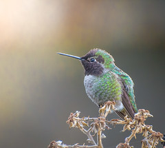 same Hummer,but differnet day. (Omygodtom) Tags: existinglight explorer exotic bokeh bird annashummingbird wild wildlife portrait pose fall leaf nikkor nature nikon d7100 digital detail nikon70300mmvrlens usgs urbunnature ngc ngs song golden google exposure
