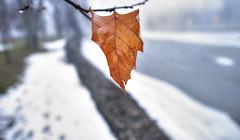 wet leaf (DeZ - photolores) Tags: guelphcanada royalcitypark river snow bokeh hdr nikon nikond610 nikkor nikkor1424mmf28 dez trees