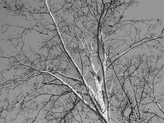 2018 20mm january loveland ohio panasoniclumixg5 winter sycamore tree blackandwhite blackwhite bw