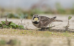 American Horned Lark. (Bob Eade) Tags: americanhornedlark surrey staines reservoir migrant avian bird lark winter