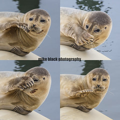 Harbor Seal montage NJ Shore (Mike Black photography) Tags: harbord seal marine mammal nature sea ocean belmar marina new jersey nj shore mike black animals water blue canon 5ds february 2018 600mm