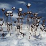 Sedum in winter - Sedum en hiver thumbnail