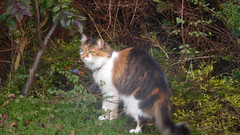 New cat  on the  block (claire artistandpoet Stroke Survivor) Tags: eyes fur animal tail pussy