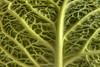 LA CURA DEL CAVOLO. (FRANCO600D) Tags: cavolo verza ortaggio verzotto cavolfiore verdura verde green foglia monocromo monochrome canon eos600d franco600d explore