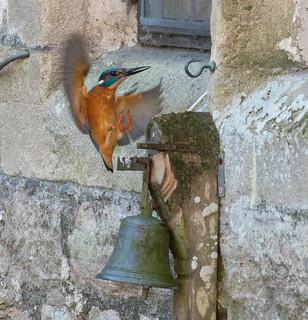 Kingfisher landing