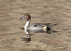 Northern pintail on the creek (Victoria Morrow) Tags: