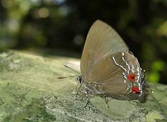 Kolana ligurina (Camerar 4 million views!) Tags: butterfly kolanaligurina lycaenidae peru butterflies insect