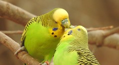 Happy Valentine's Day (blue33hibiscus) Tags: budgie budgerigar parakeet newquayzoo cornwall valentinesday