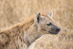Spotted Hyena (Michael Zahra) Tags: africa african safari mammal cat dog feliformia caniformia spotted hyena crocuta carnivore rey kill adventure travel tourism nature wildlife landscape savannah grasslands hunt hunting tanzania ngorongoro serengeti canon wild kitty