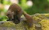 Pine Marten  (Martes martes). (Sandra Standbridge.) Tags: pinemarten martesmartes mammal animal wildandfree wild wildlife nature outdoor moss scotland