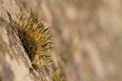 (Vitatrix) Tags: moos pflanze bokeh stein makro