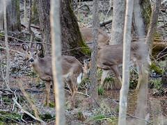 180217 Deer 1 (reneedobbs) Tags: deer wildlife nature swamp