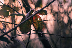 Warmer colors (drop_m) Tags: old oldlens manual manuallens vintage vintagelens primelens prime deepoffield dof field deep sony sony7rii sonyalpha7rii sonyilce7rm2 sonyalpha 7rmii 7rm2 ilce7rm2 pentacon pentacon135mm pentacon135mm28 pentacon135mmf28 pentacon135 135mm f28 naturallight nature foliage leaf leaves tree trees torn torns spike spikes winter 2018 italy warm warmer calm red orange yellow woods wood sky goldenhour gold golden dusk sunset