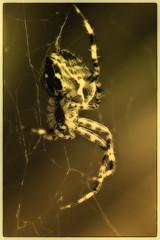 spider in the web (Heinze Detlef) Tags: spider spinne spinnennetz kreuzspinne tier spinnentiere