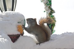 Digging out!    Explored!   Thank you!! (Jeannette Greaves) Tags: 2018 snow squirrel seed deck winter storm explore