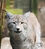 Luchs / Lynx (bPictureDE) Tags: bpicture tieraufnahmen animals katze europeanlynx cats cat katzen raubkatze europäischerluchs luchs lynx