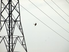 P3047893 (charlie b1984) Tags: bird prey kestrel flight carlisle cumbria uk march 2018 afternoon industrial landscape urban flatlight flat light snow grey steel white cloudy lines powerlines cables wires patterns man made nature