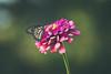 lake katherine. september 2017 (timp37) Tags: insect lake katherine flower illinois september 2017 palos butterfly