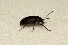Coleoptera, Tenebrionidae sp. (Darkling Beetle) - South Africa (Nick Dean1) Tags: animalia arthropoda arthropod hexapoda hexapod insect insecta coleoptera tenebrionidae krugernationalpark southafrica beetle