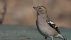Common Chaffinch (nhtbzk) Tags: common chaffinch bird animal birds ornito nikon d500 200500mm ankara türkiye wildlife