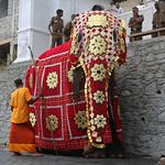 Perahera Elephant (1X7A4674b) thumbnail