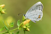 Kurzschwänziger Bläuling (Cupido argiades) (Andrelo2014) Tags: butterfly macro bläuling sigma105mm sonyalpha65 kurzschwänzigerbläuling cupidoargiades