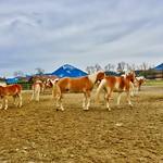 Haflinger or Avelignese horses near Ebbs, Tyrol, Austria thumbnail