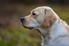 Buddy (Jan-Willem Adams) Tags: adamsphotography buddy dog fordjw honden labrador portret garderen gelderland nederland nl