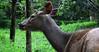 Deer (aghiljv) Tags: deer animal grass green tree nelliyampathi palakkad kereala godsowncountry aghiljvphotography india incredibleindia leaves forest alone eyes black blue sky nikon nikond3200 nikonasia photooftheday