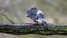 Bird sleeping (1/2) : sleeping on a branch (Franck Zumella) Tags: animal bird oiseau pigeon nature wildlife vie sauvage branch branche tree arbre dormir sleep sleeping dormant dort sony a7s