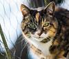29/365 - Pretty Prudence (EYeardley) Tags: cat feline greeneyes pretty tabbycat tortoiseshell tortie prudence nikon nikond3300 nikonphotography sigma pet petportrait animalportrait petphotography