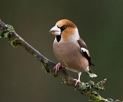 _D007291b (clive190) Tags: hawfinch forestofdean garden bird perching coleford tree