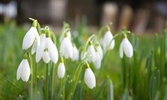 2018 - Snow Drops (Galanthus) (Adam Swaine) Tags: snowdrops flora flowers petals churchyard church churches gravestones england english naturelovers nature englishvillages britain british uk ukcounties rural ruralkent ruralchurches ruralvillages canon countryside