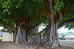 Made In The Shade (chumlee10) Tags: hawaii pacific ocean tree trees cruise2017